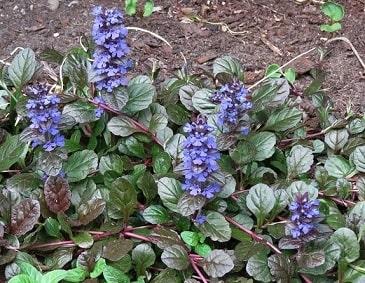 Ajuga Plants Garden