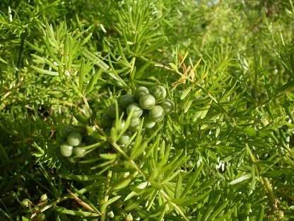 Asparagus Fern Green Berries