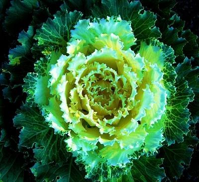 Big Kale