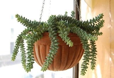 Burro's Tail Succulent