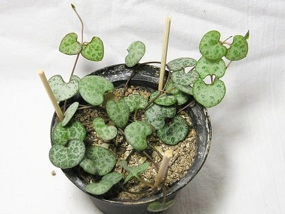 Ceropegia Woodii