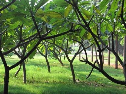 Champa Trees