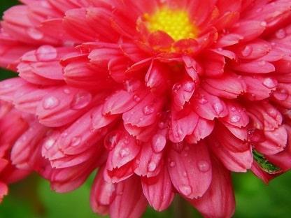 Chrysanthemum Mum
