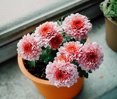 Chrysanthemums in Pot