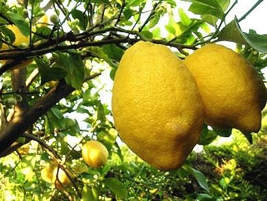 Crop of Lemons