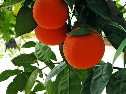 Crop of Oranges
