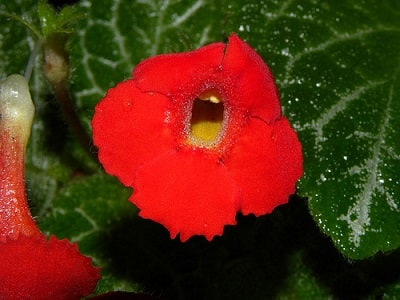 Episcia Bloom