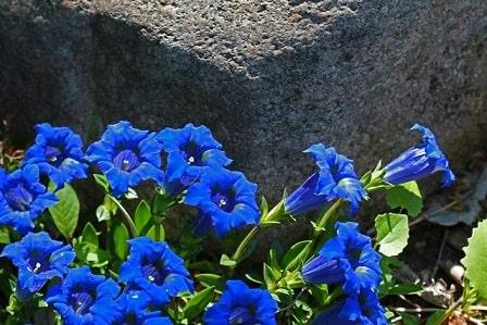 Gentians Flowers