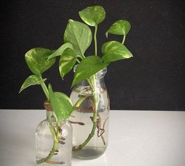 Growing Pothos Water