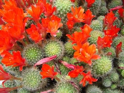 Holiday Cacti