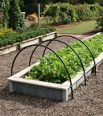 Lettuce in Raised Bed