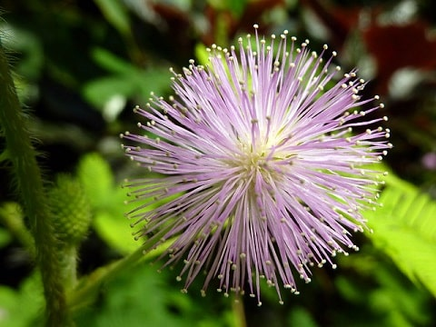 Mimosa Pudica Bloom