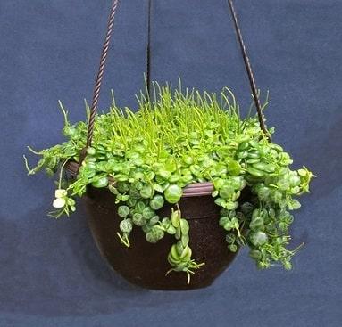 Peperomia Rotundafolia