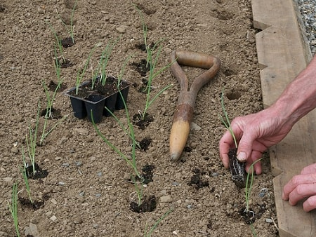 Planted Onions