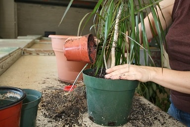 Repotting and Adding Soil
