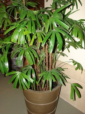 Rhapis Excelsa Palm