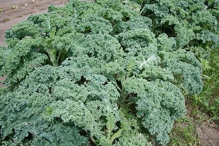 Ripbor Kale