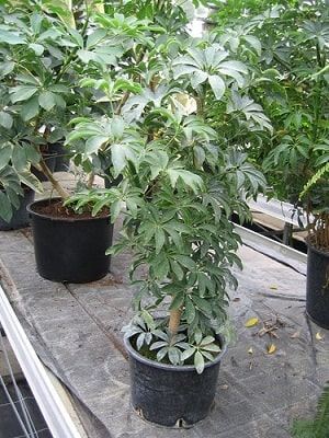 Schefflera Arboricola Umbrella Tree