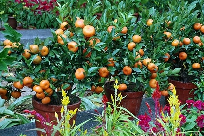 Tangerine Trees Container
