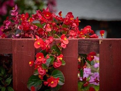 Wax Begonia Flowers