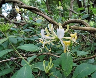 Woodland Honeysuckle
